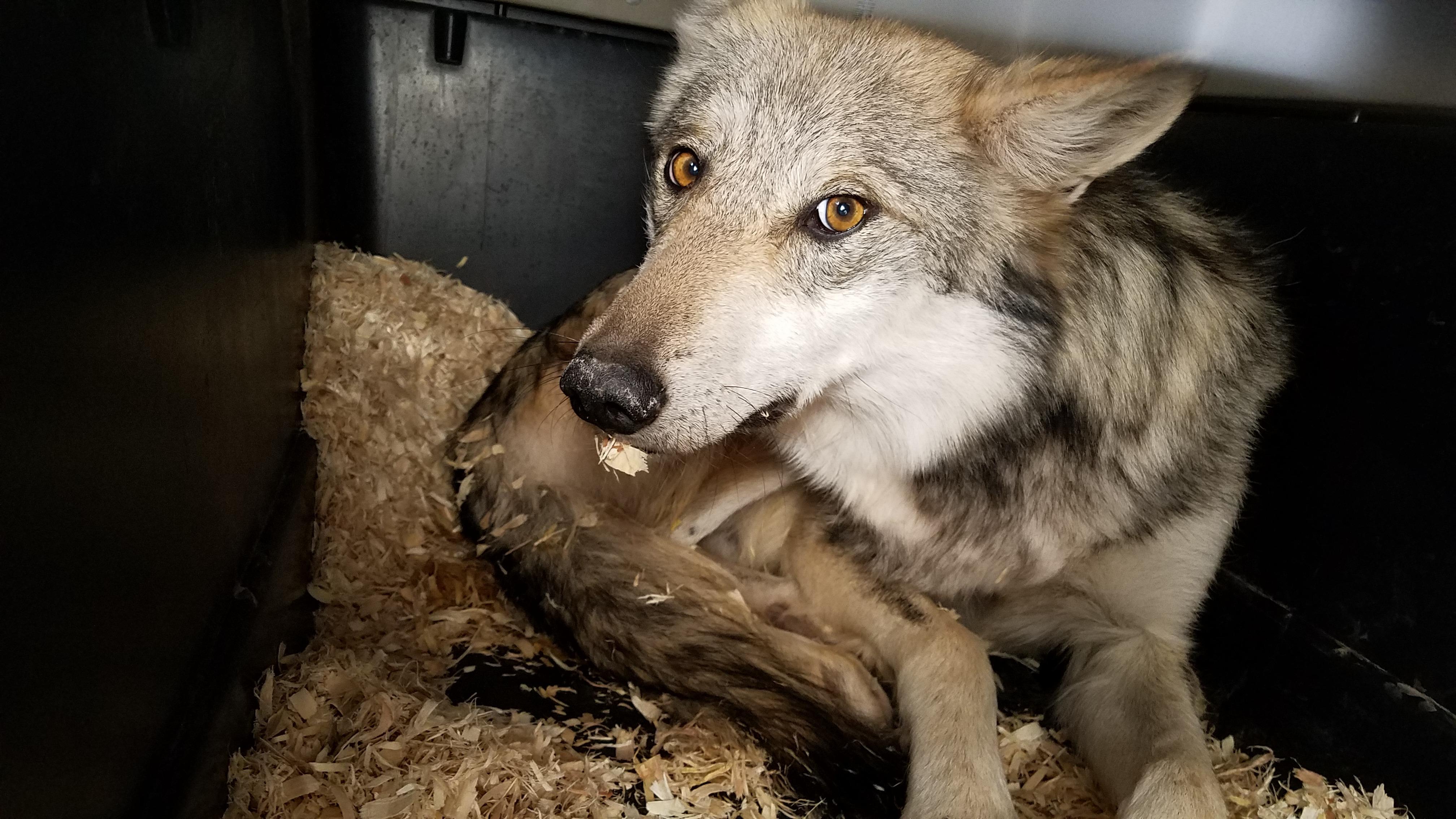 LightHawk Flies 3 Endangered Mexican Wolves